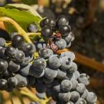 grapes-1139550_640