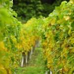 vineyards-697091_640